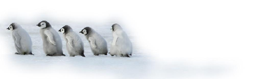 baby penguins walking